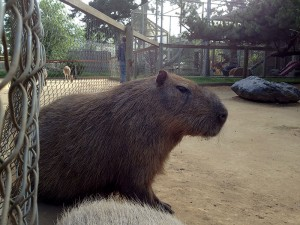 My What Big Teeth You Have, Capybara